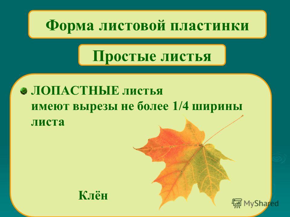 Форма листовой пластинки ЛОПАСТНЫЕ листья имеют вырезы не более 1/4 ширины листа Клён Простые листья