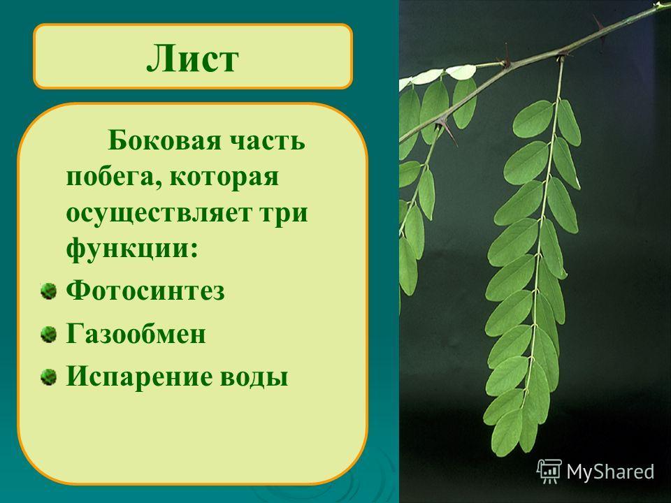 Лист Боковая часть побега, которая осуществляет три функции: Фотосинтез Газообмен Испарение воды