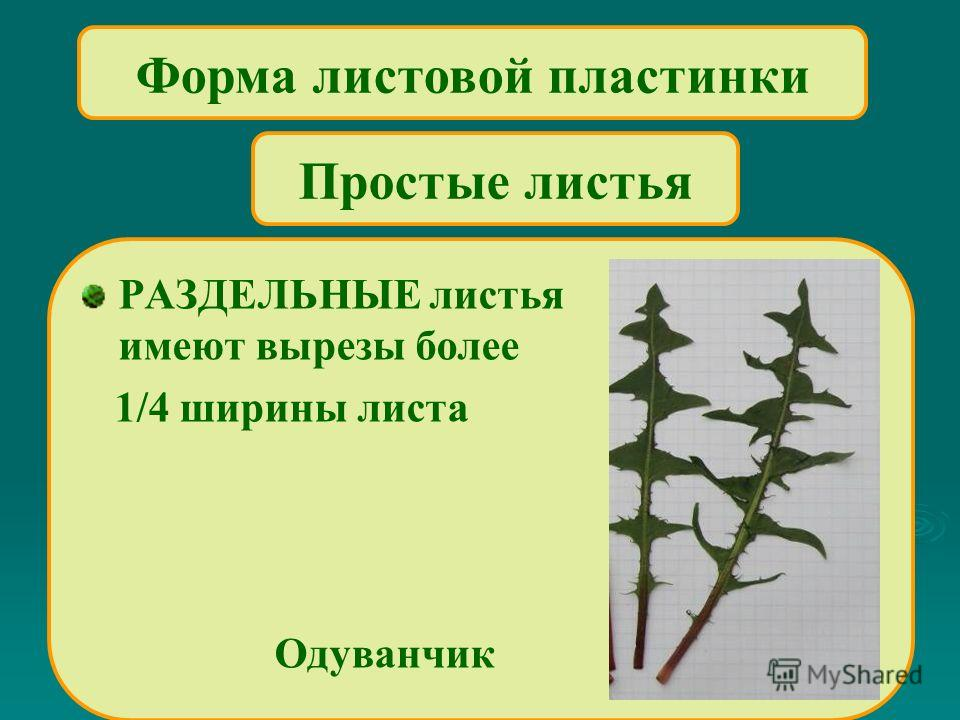 Форма листовой пластинки РАЗДЕЛЬНЫЕ листья имеют вырезы более 1/4 ширины листа Одуванчик Простые листья