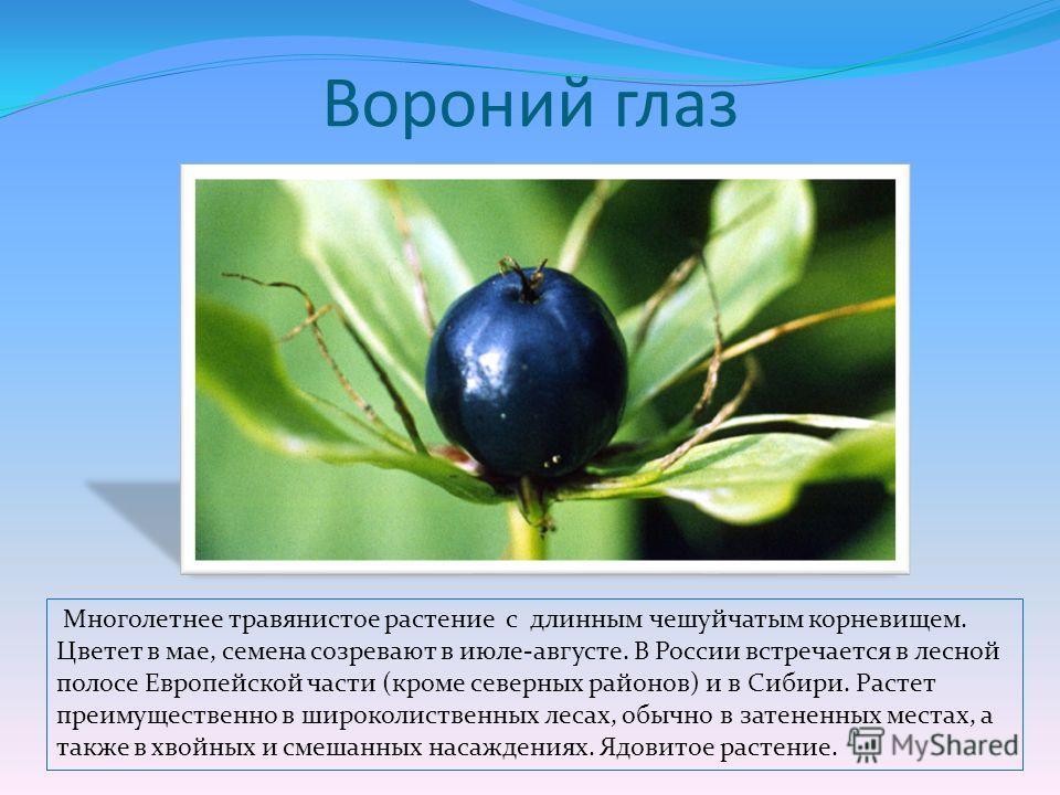 Вороний глаз Многолетнее травянистое растение с длинным чешуйчатым корневищем. Цветет в мае, семена созревают в июле-августе. В России встречается в лесной полосе Европейской части (кроме северных районов) и в Сибири. Растет преимущественно в широко