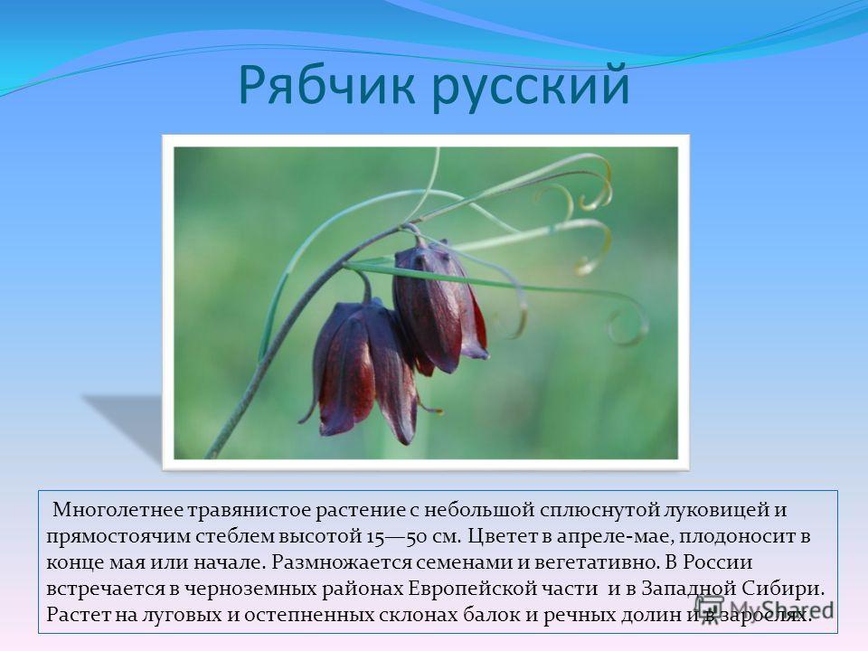 Рябчик русский Многолетнее травянистое растение с небольшой сплюснутой луковицей и прямостоячим стеблем высотой 1550 см. Цветет в апреле-мае, плодоносит в конце мая или начале. Размножается семенами и вегетативно. В России встречается в черноземных р