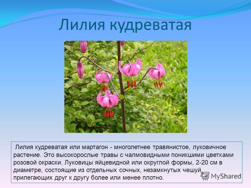 Лилия кудреватая Лилия кудреватая или мартагон - многолетнее травянистое, луковичное растение. Это высокорослые травы с чалмовидными поникшими цветками розовой окраски. Луковицы яйцевидной или округлой формы, 2-20 см в диаметре, состоящие из отдельны