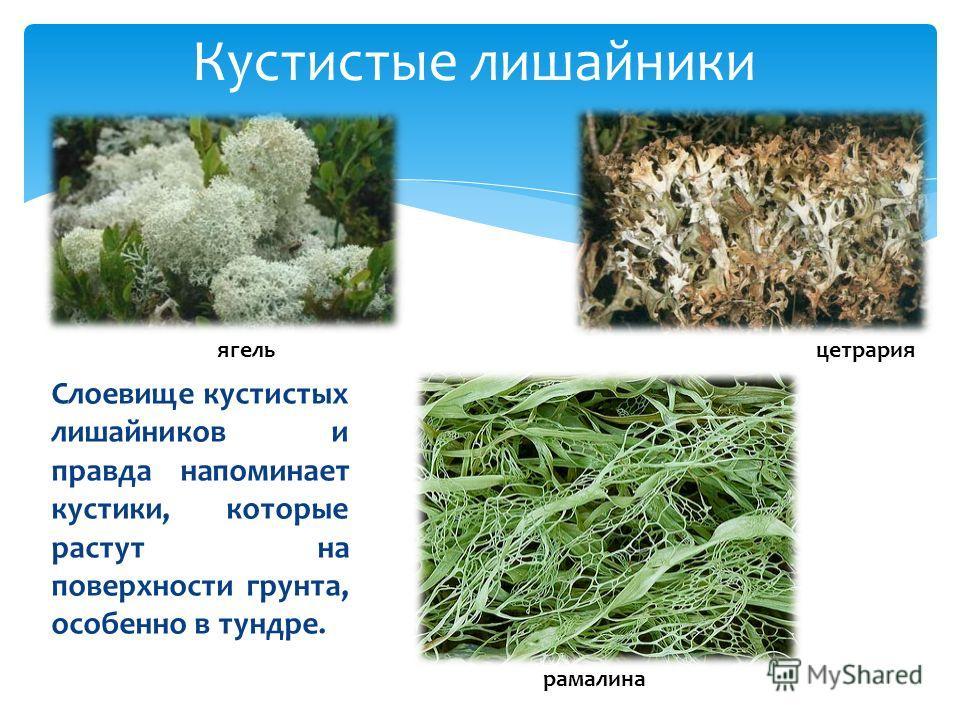 Кустистые лишайники Слоевище кустистых лишайников и правда напоминает кустики, которые растут на поверхности грунта, особенно в тундре. рамалина ягель цетрария