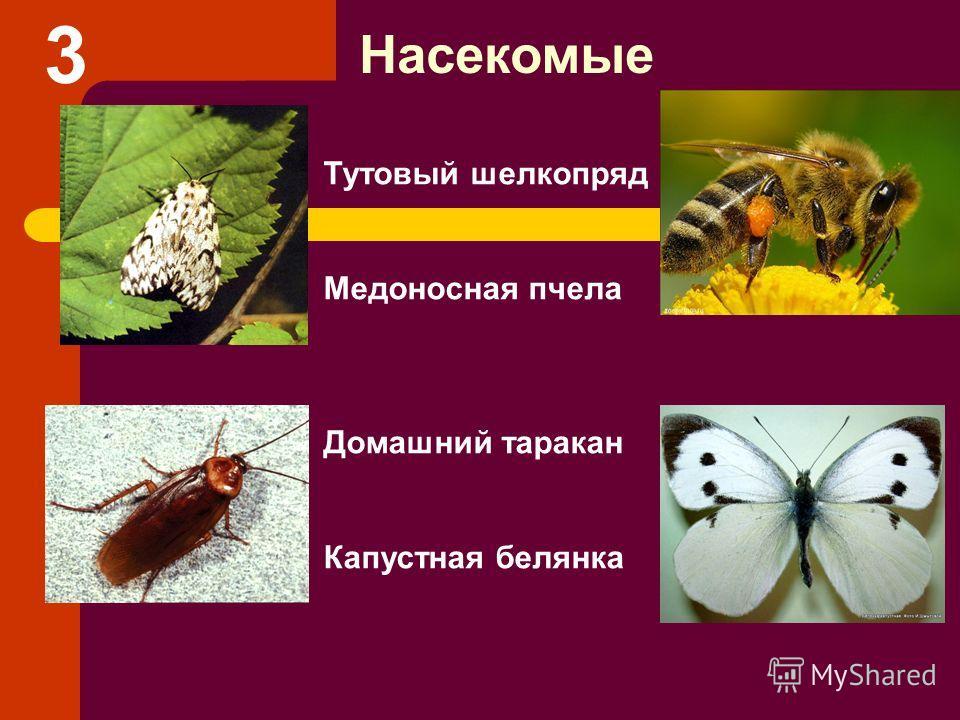 Тутовый шелкопряд Медоносная пчела Домашний таракан Капустная белянка Насекомые 3