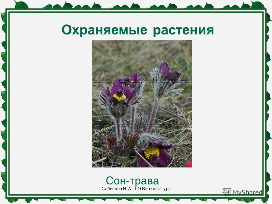 Охраняемые растения Сон-трава Собенина Н.А., ГО Верхняя Тура