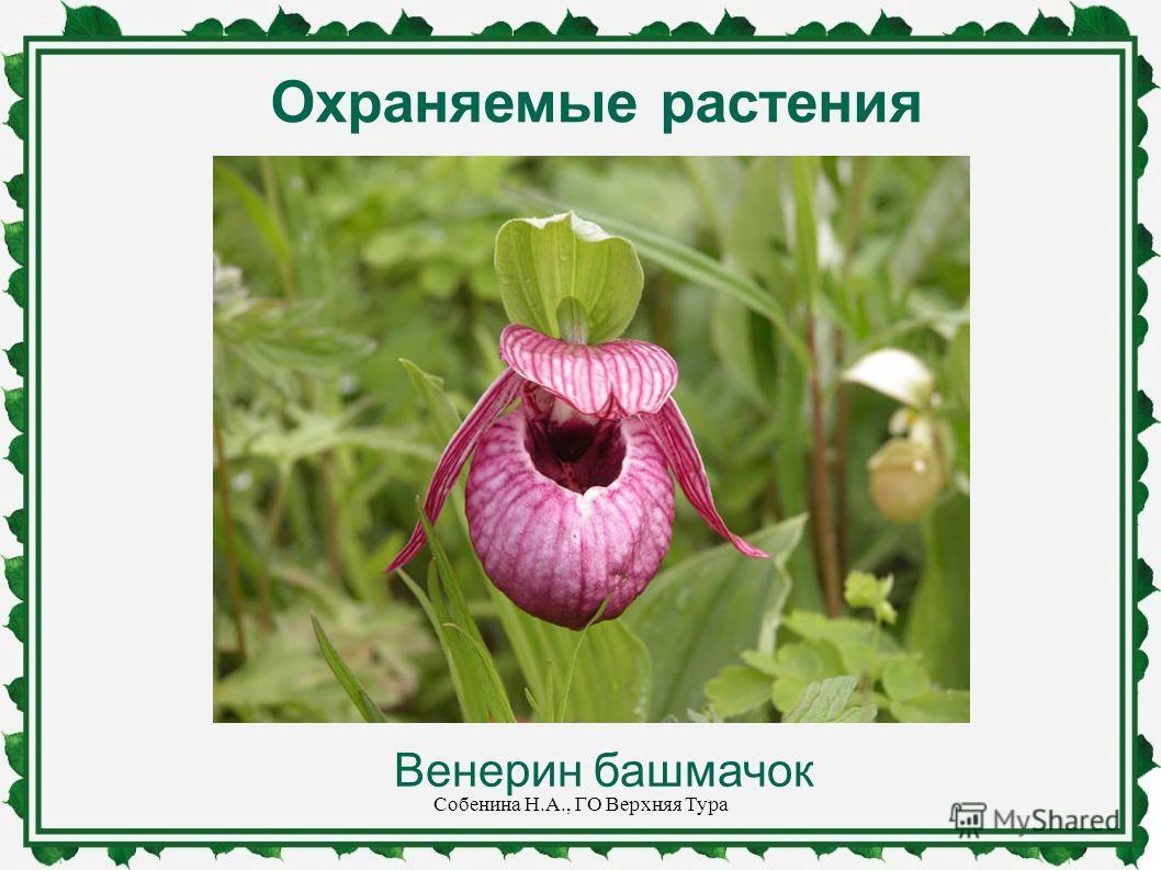 Охраняемые растения Венерин башмачок Собенина Н.А., ГО Верхняя Тура