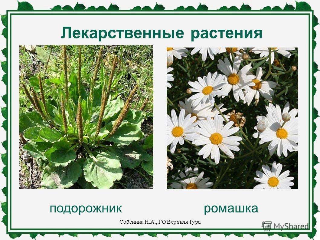 Лекарственные растения подорожникромашка Собенина Н.А., ГО Верхняя Тура