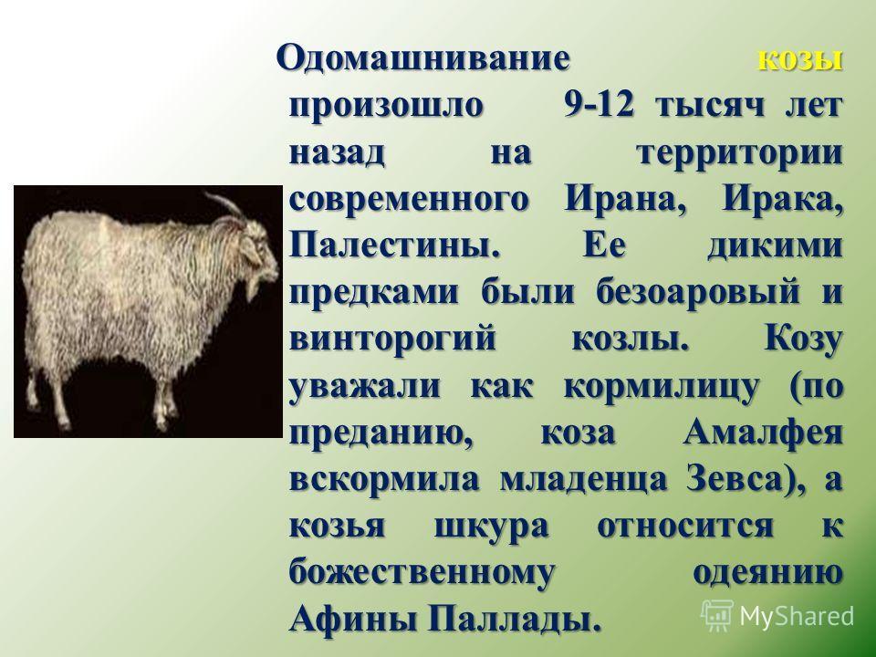 Одомашнивание козы произошло 9-12 тысяч лет назад на территории современного Ирана, Ирака, Палестины. Ее дикими предками были безоаровый и винторогий козлы. Козу уважали как кормилицу (по преданию, коза Амалфея вскормила младенца Зевса), а козья шкур