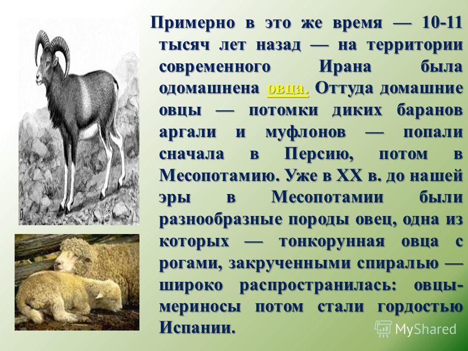 Примерно в это же время 10-11 тысяч лет назад на территории современного Ирана была одомашнена овца. Оттуда домашние овцы потомки диких баранов аргали и муфлонов попали сначала в Персию, потом в Месопотамию. Уже в ХХ в. до нашей эры в Месопотамии был