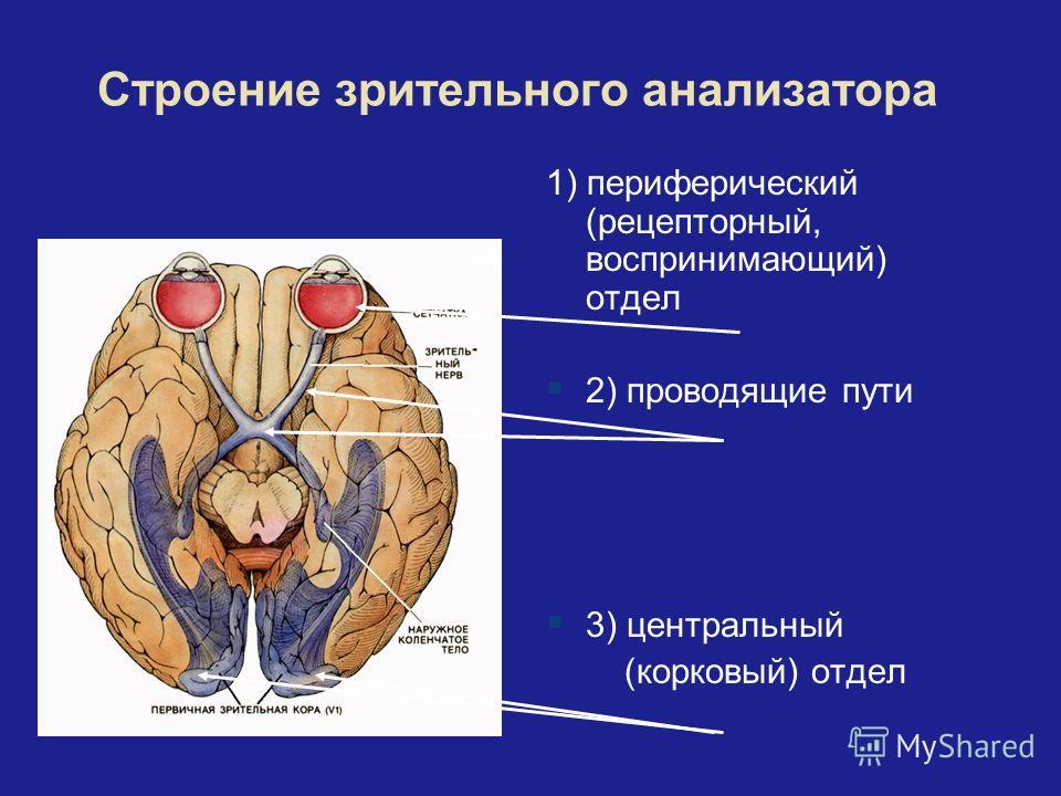 Строение зрительного анализатора 1) периферический (рецепторный, воспринимающий) отдел 2) проводящие пути 3) центральный (корковый) отдел