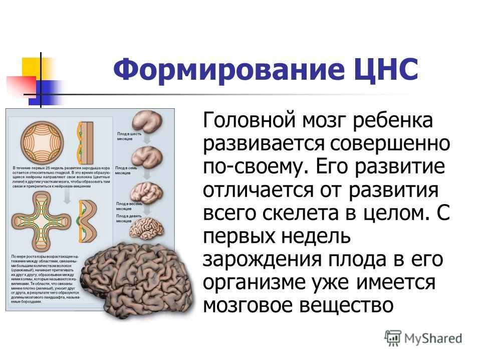 Формирование ЦНС Головной мозг ребенка развивается совершенно по-своему. Его развитие отличается от развития всего скелета в целом. С первых недель зарождения плода в его организме уже имеется мозговое вещество