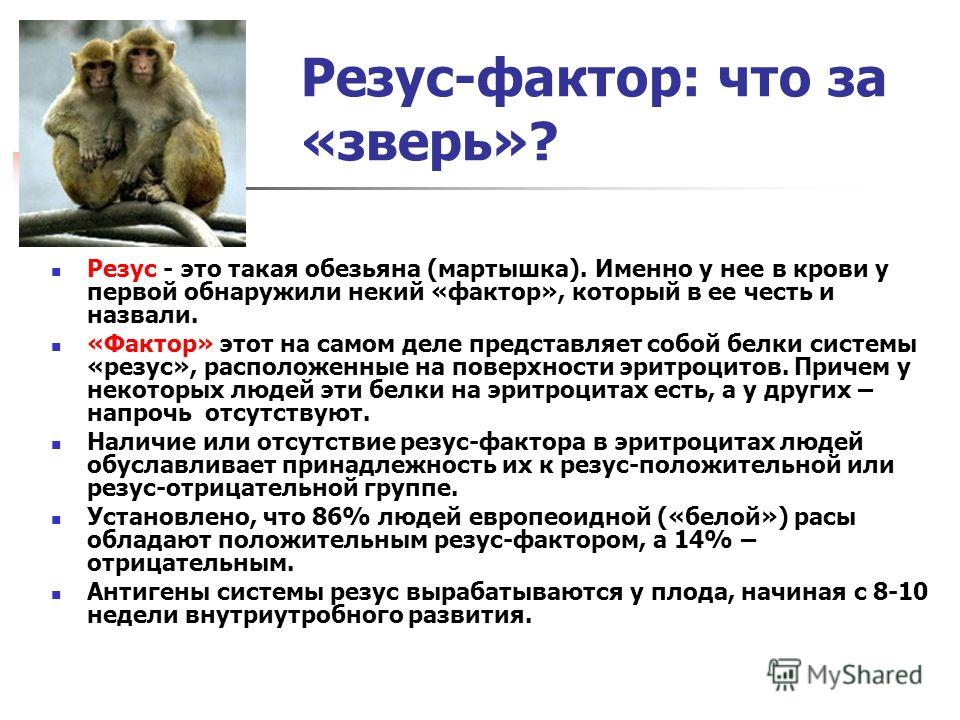 Резус-фактор: что за «зверь»? Резус - это такая обезьяна (мартышка). Именно у нее в крови у первой обнаружили некий «фактор», который в ее честь и назвали. «Фактор» этот на самом деле представляет собой белки системы «резус», расположенные на поверхн