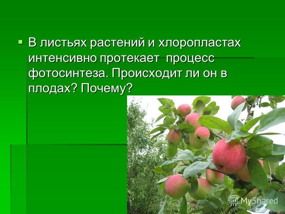 В листьях растений и хлоропластах интенсивно протекает процесс фотосинтеза. Происходит ли он в плодах? Почему? В листьях растений и хлоропластах интенсивно протекает процесс фотосинтеза. Происходит ли он в плодах? Почему?