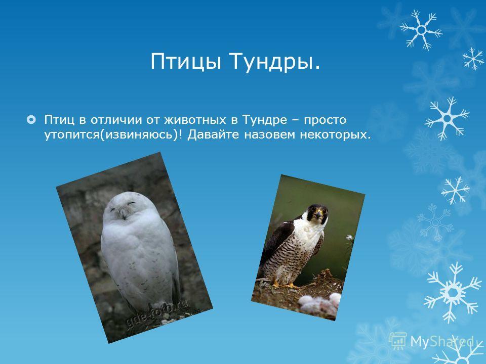 Птицы Тундры. Птиц в отличии от животных в Тундре – просто утопится(извиняюсь)! Давайте назовем некоторых.