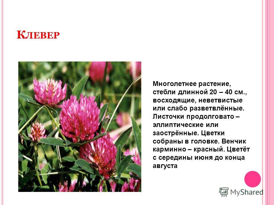 К ЛЕВЕР Многолетнее растение, стебли длинной 20 – 40 см., восходящие, неветвистые или слабо разветвлённые. Листочки продолговато – эллиптические или заострённые. Цветки собраны в головке. Венчик карминно – красный. Цветёт с середины июня до конца авг