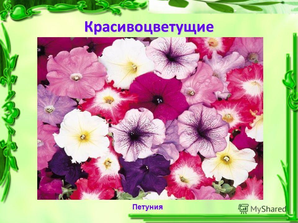 Красивоцветущие Петуния