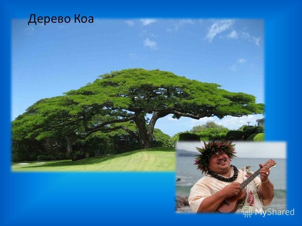 Дерево Коа