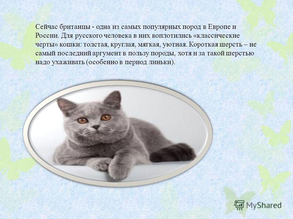 Сейчас британцы - одна из самых популярных пород в Европе и России. Для русского человека в них воплотились «классические черты» кошки: толстая, круглая, мягкая, уютная. Короткая шерсть – не самый последний аргумент в пользу породы, хотя и за такой ш