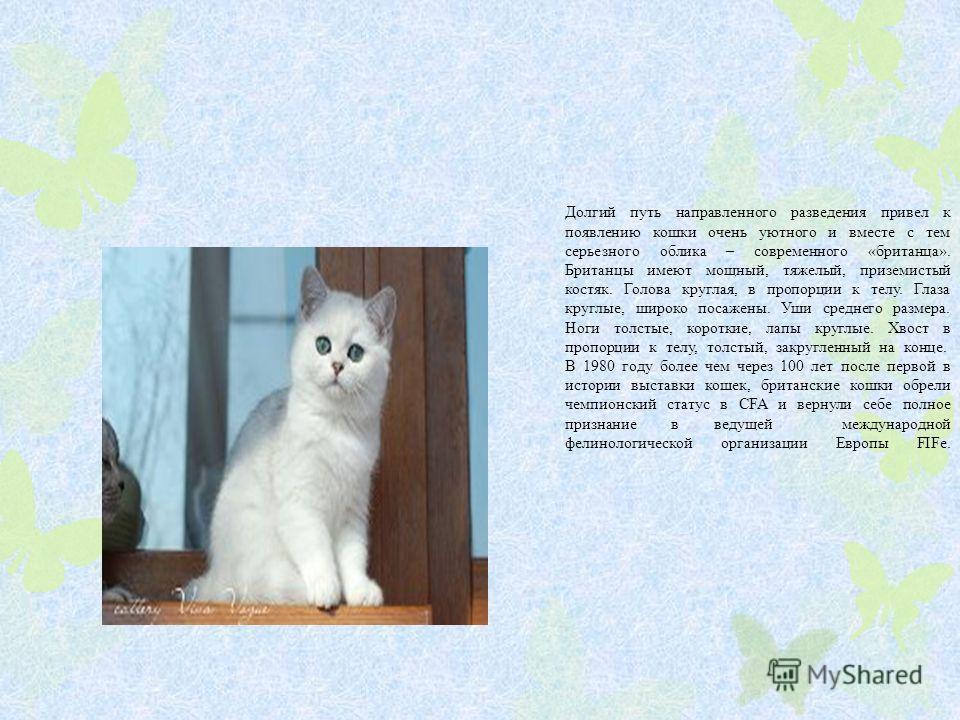 Долгий путь направленного разведения привел к появлению кошки очень уютного и вместе с тем серьезного облика – современного «британца». Британцы имеют мощный, тяжелый, приземистый костяк. Голова круглая, в пропорции к телу. Глаза круглые, широко поса