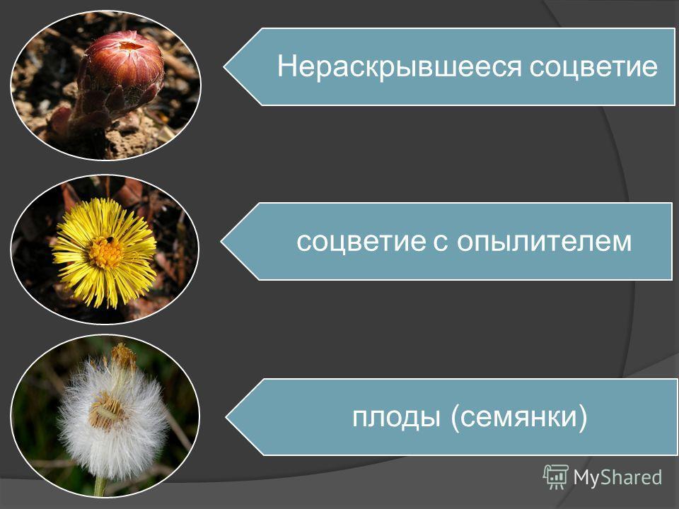 Нераскрывшееся соцветие соцветие с опылителем плоды (семянки)