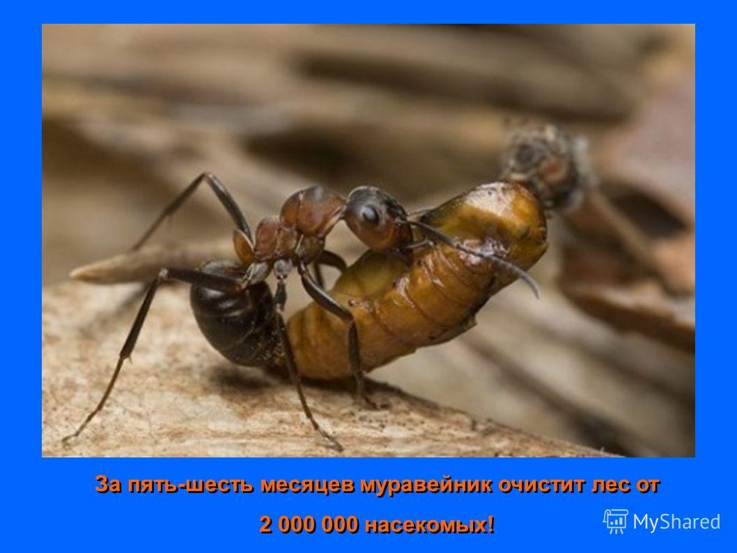 За пять-шесть месяцев муравейник очистит лес от 2 000 000 насекомых! За пять-шесть месяцев муравейник очистит лес от 2 000 000 насекомых!