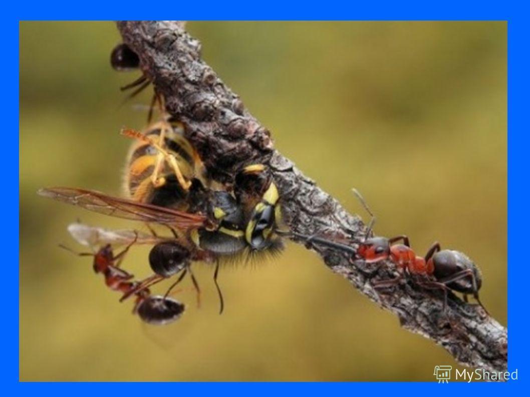 презентация на тему муравьи по биологии для 8 класса