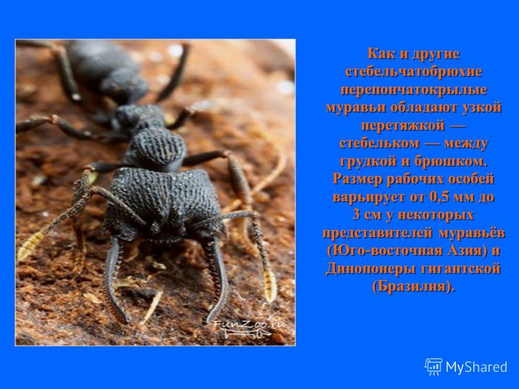 Как и другие стебельчатобрюхие перепончатокрылые муравьи обладают узкой перетяжкой стебельком между грудкой и брюшком. Размер рабочих особей варьирует от 0,5 мм до 3 см у некоторых представителей муравьёв (Юго-восточная Азия) и Динопонеры гигантской