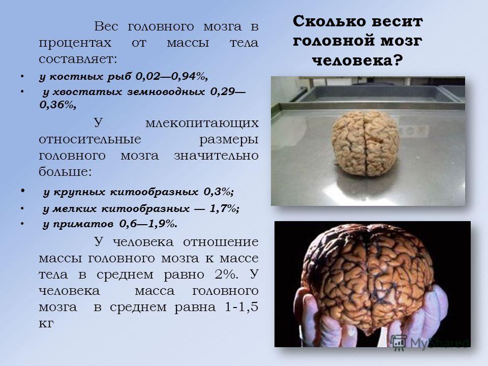Сколько весит головной мозг человека? Вес головного мозга в процентах от массы тела составляет: у костных рыб 0,020,94%, у хвостатых земноводных 0,29 0,36%, У млекопитающих относительные размеры головного мозга значительно больше: у крупных китообраз