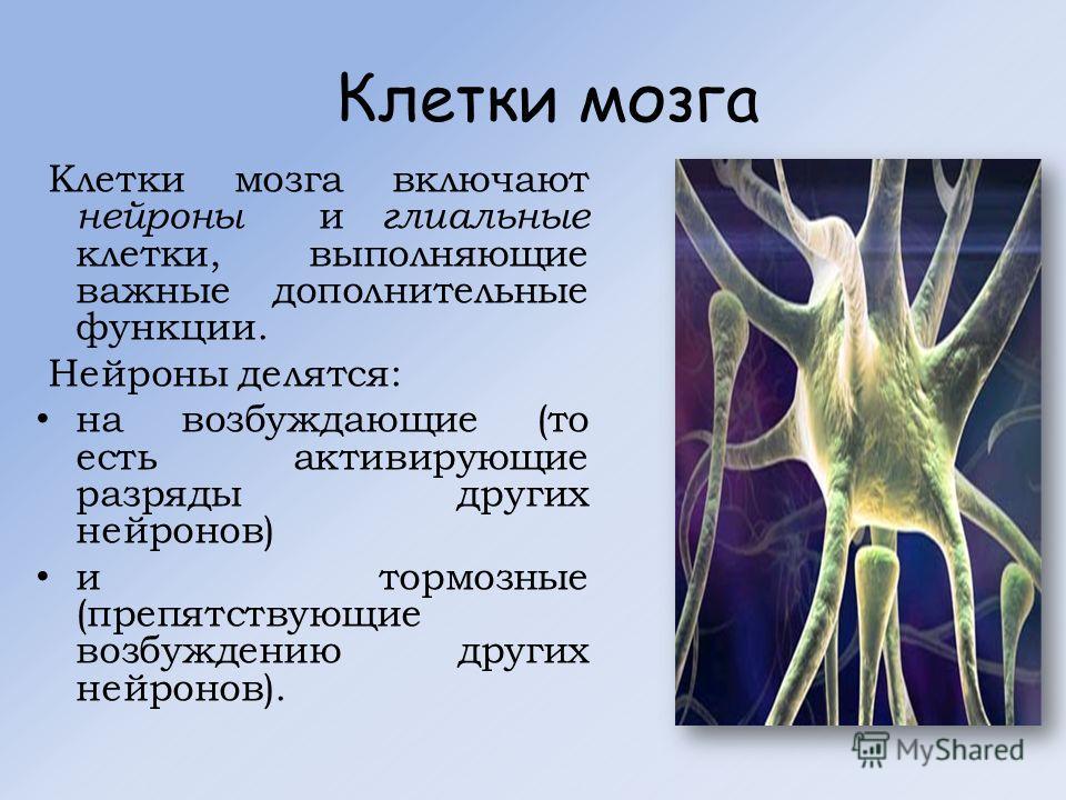 Клетки мозга Клетки мозга включают нейроны и глиальные клетки, выполняющие важные дополнительные функции. Нейроны делятся: на возбуждающие (то есть активирующие разряды других нейронов) и тормозные (препятствующие возбуждению других нейронов).