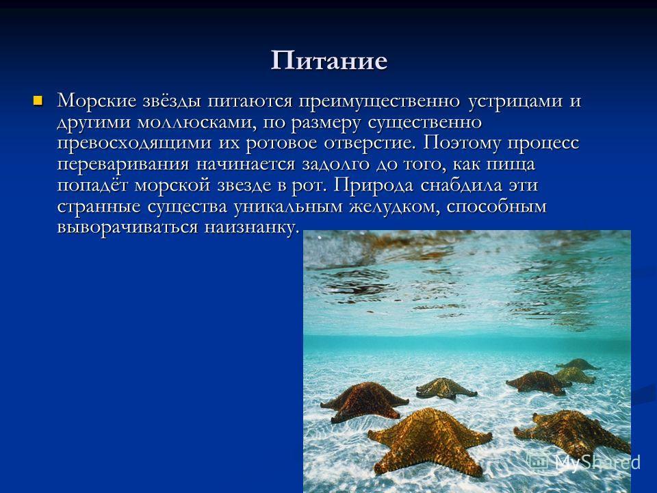 Питание Морские звёзды питаются преимущественно устрицами и другими моллюсками, по размеру существенно превосходящими их ротовое отверстие. Поэтому процесс переваривания начинается задолго до того, как пища попадёт морской звезде в рот. Природа снабд