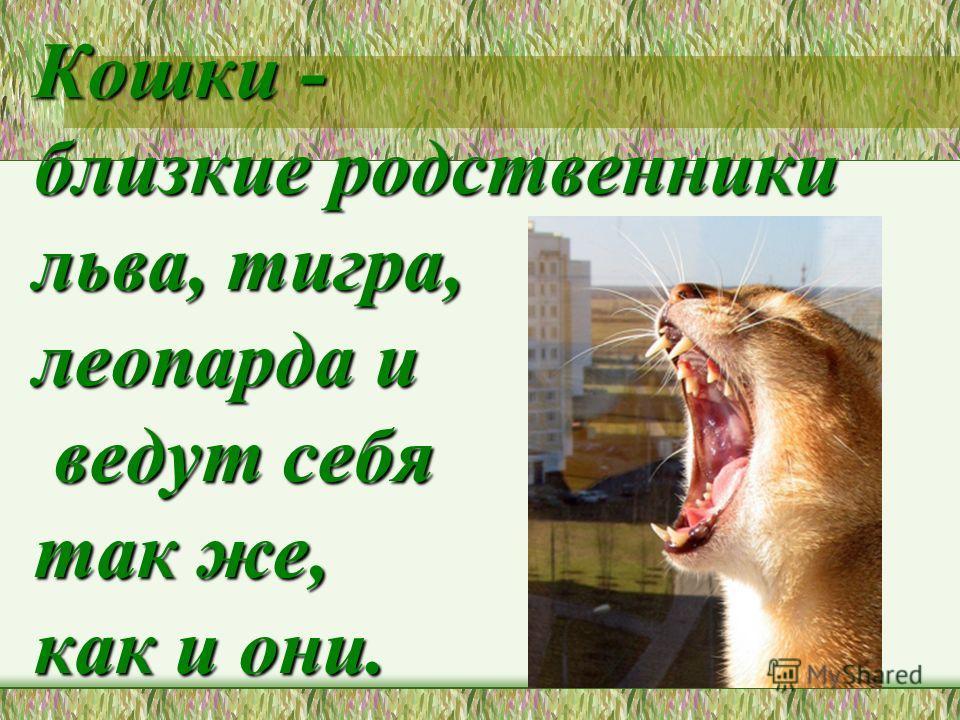 Кошки - близкие родственники льва, тигра, леопарда и ведут себя так же, как и они.