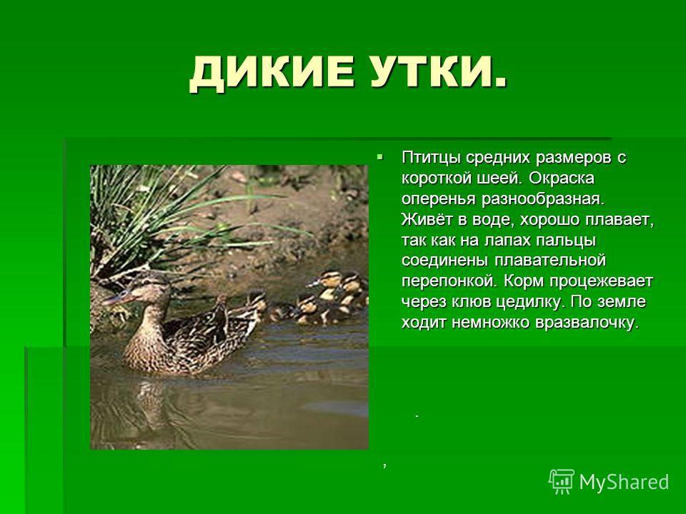 ДИКИЕ УТКИ. Птитцы средних размеров с короткой шеей. Окраска оперенья разнообразная. Живёт в воде, хорошо плавает, так как на лапах пальцы соединены плавательной перепонкой. Корм процежевает через клюв цедилку. По земле ходит немножко вразвалочку. Пт