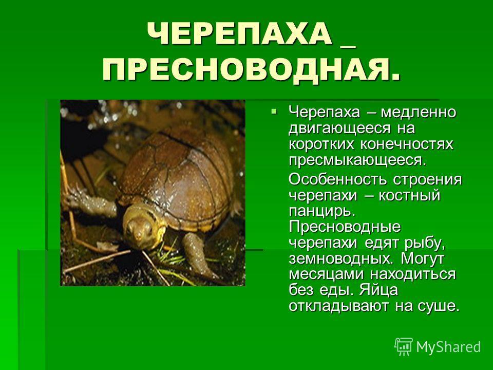 ЧЕРЕПАХА _ ПРЕСНОВОДНАЯ. Черепаха – медленно двигающееся на коротких конечностях пресмыкающееся. Черепаха – медленно двигающееся на коротких конечностях пресмыкающееся. Особенность строения черепахи – костный панцирь. Пресноводные черепахи едят рыбу,