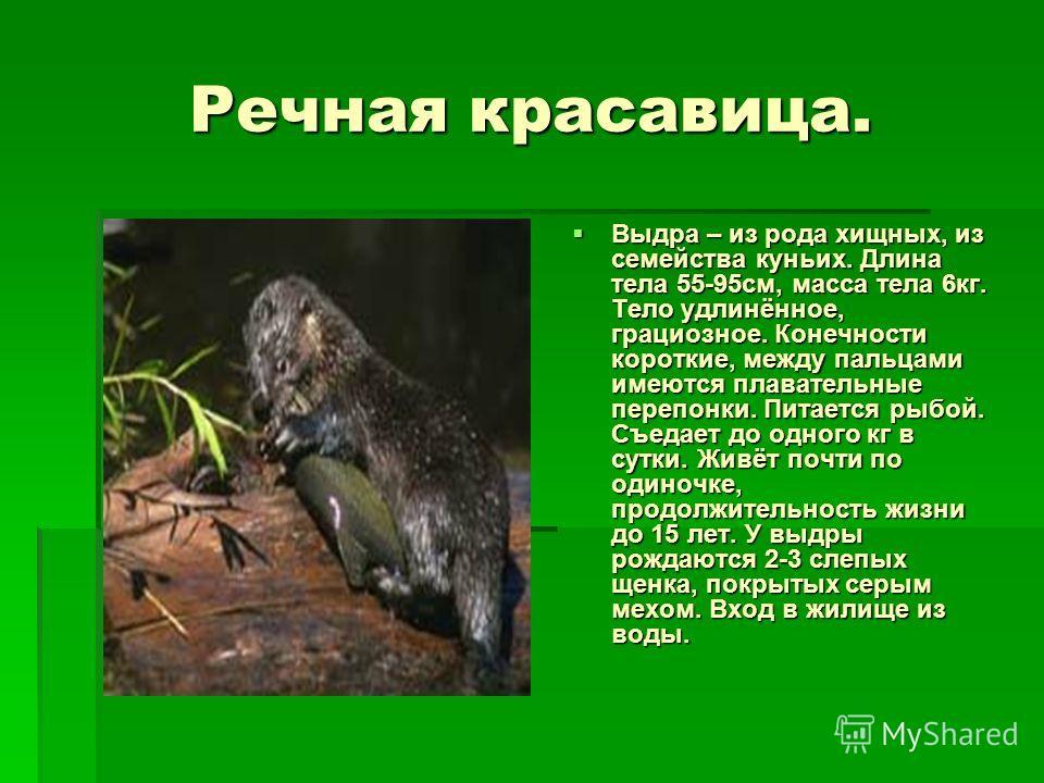 Речная красавица. Выдра – из рода хищных, из семейства куньих. Длина тела 55-95см, масса тела 6кг. Тело удлинённое, грациозное. Конечности короткие, между пальцами имеются плавательные перепонки. Питается рыбой. Съедает до одного кг в сутки. Живёт по