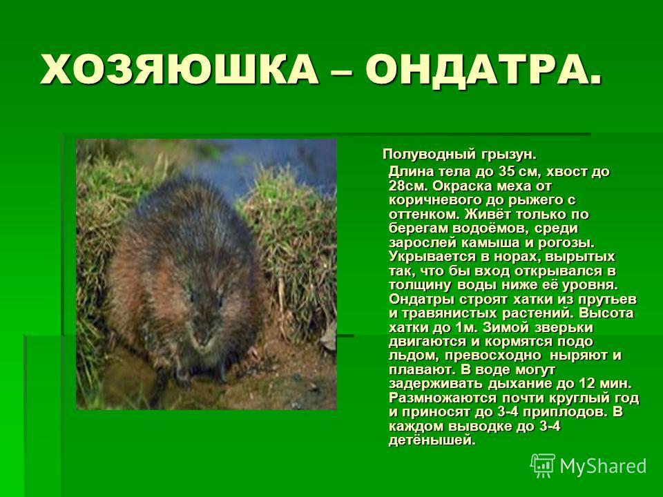 ХОЗЯЮШКА – ОНДАТРА. Полуводный грызун. Полуводный грызун. Длина тела до 35 см, хвост до 28см. Окраска меха от коричневого до рыжего с оттенком. Живёт только по берегам водоёмов, среди зарослей камыша и рогозы. Укрывается в норах, вырытых так, что бы