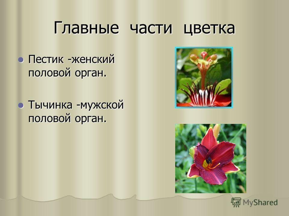 Главные части цветка Пестик -женский половой орган. Пестик -женский половой орган. Тычинка -мужской половой орган. Тычинка -мужской половой орган.