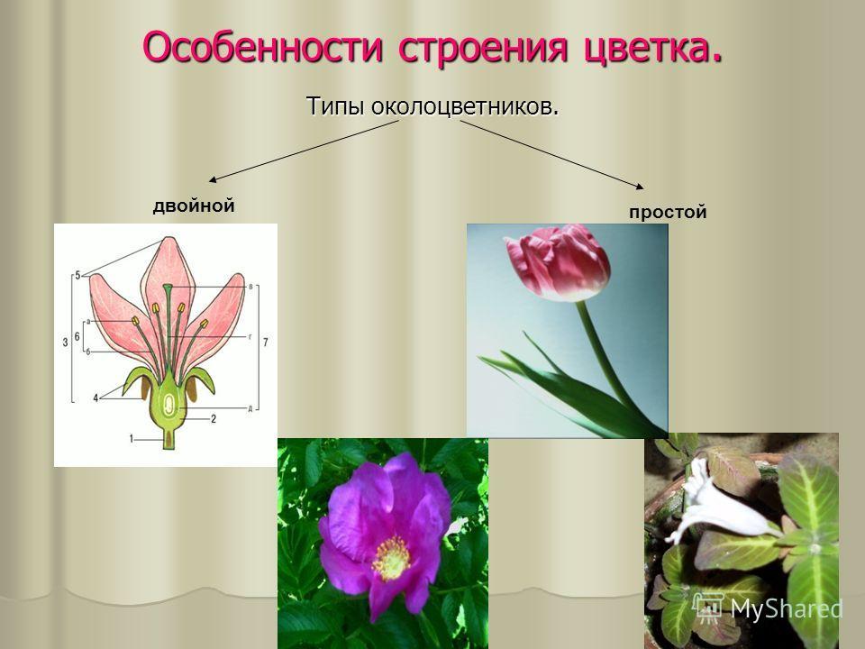 Особенности строения цветка. Типы околоцветников. двойной простой