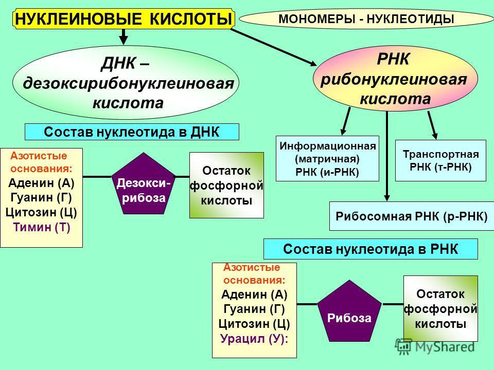 НУКЛЕИНОВЫЕ КИСЛОТЫ МОНОМЕРЫ - НУКЛЕОТИДЫ ДНК – дезоксирибонуклеиновая кислота РНК рибонуклеиновая кислота Состав нуклеотида в ДНК Состав нуклеотида в РНК Азотистые основания: Аденин (А) Гуанин (Г) Цитозин (Ц) Урацил (У): Рибоза Остаток фосфорной кис