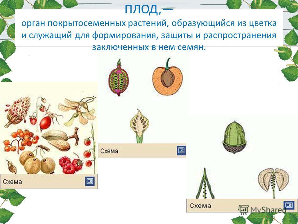 ПЛОД, орган покрытосеменных растений, образующийся из цветка и служащий для формирования, защиты и распространения заключенных в нем семян.