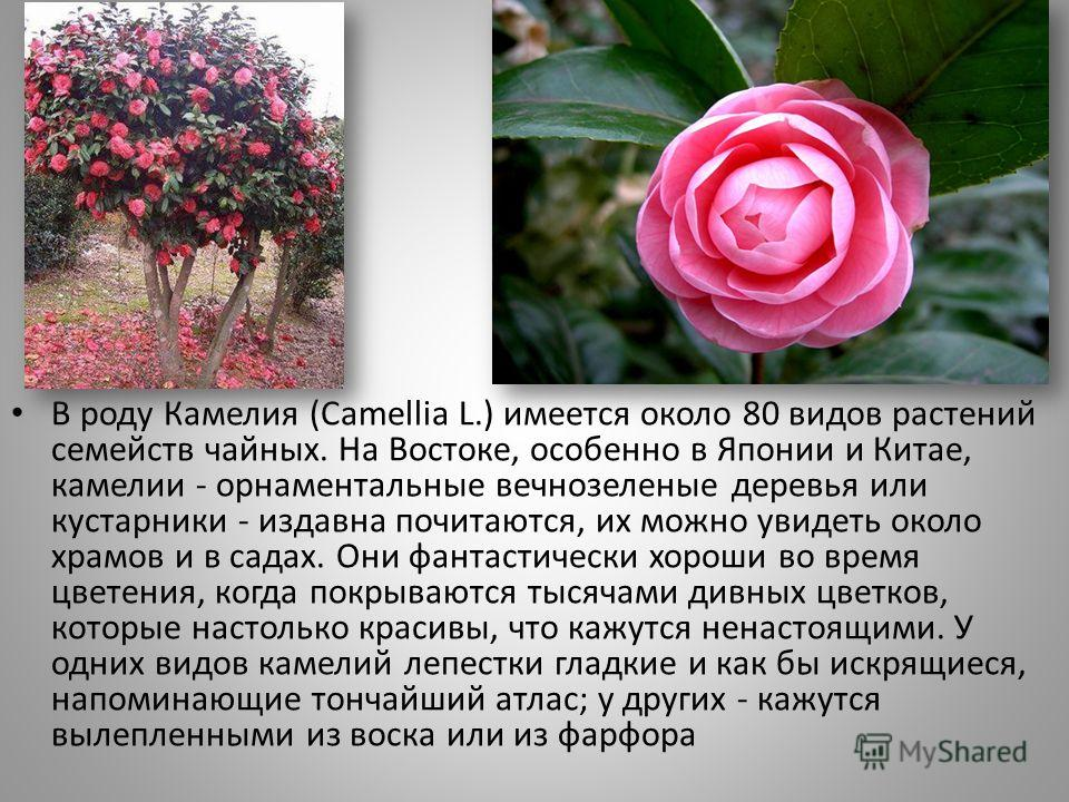 . В роду Камелия (Camellia L.) имеется около 80 видов растений семейств чайных. На Востоке, особенно в Японии и Китае, камелии - орнаментальные вечнозеленые деревья или кустарники - издавна почитаются, их можно увидеть около храмов и в садах. Они фан