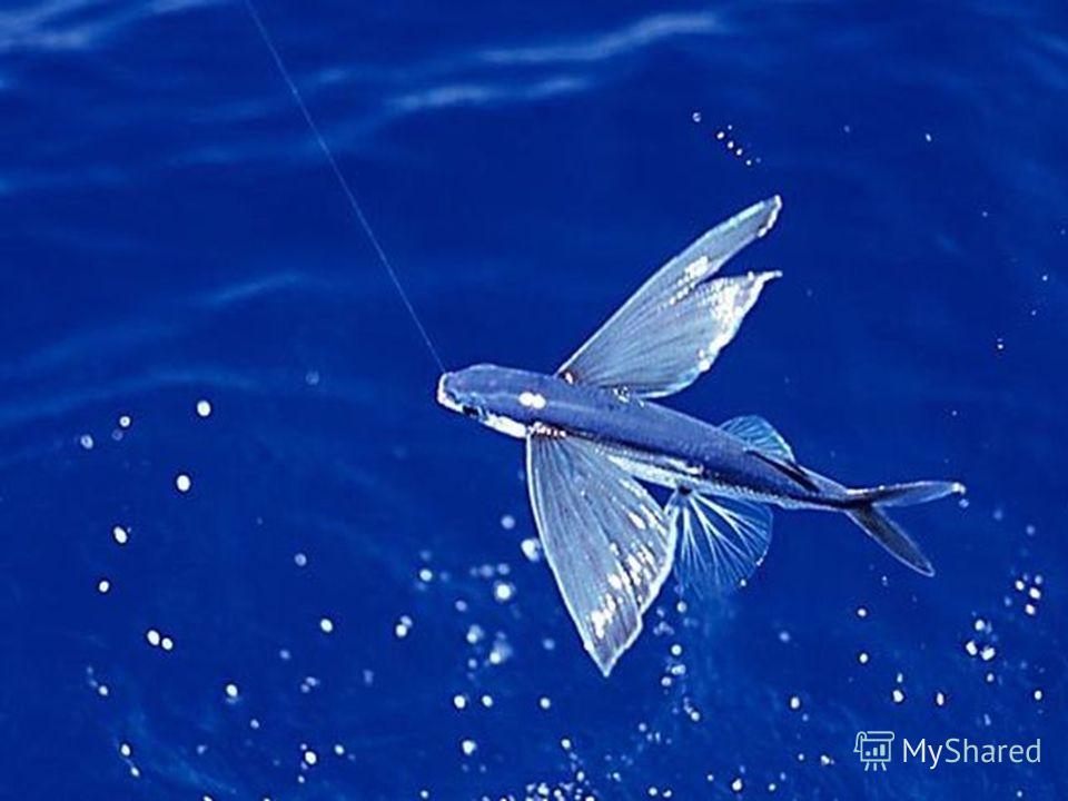 Свой полет этот объект использует для защиты от хищников: акул, касаток и др.. Он совершает планирующий полет.