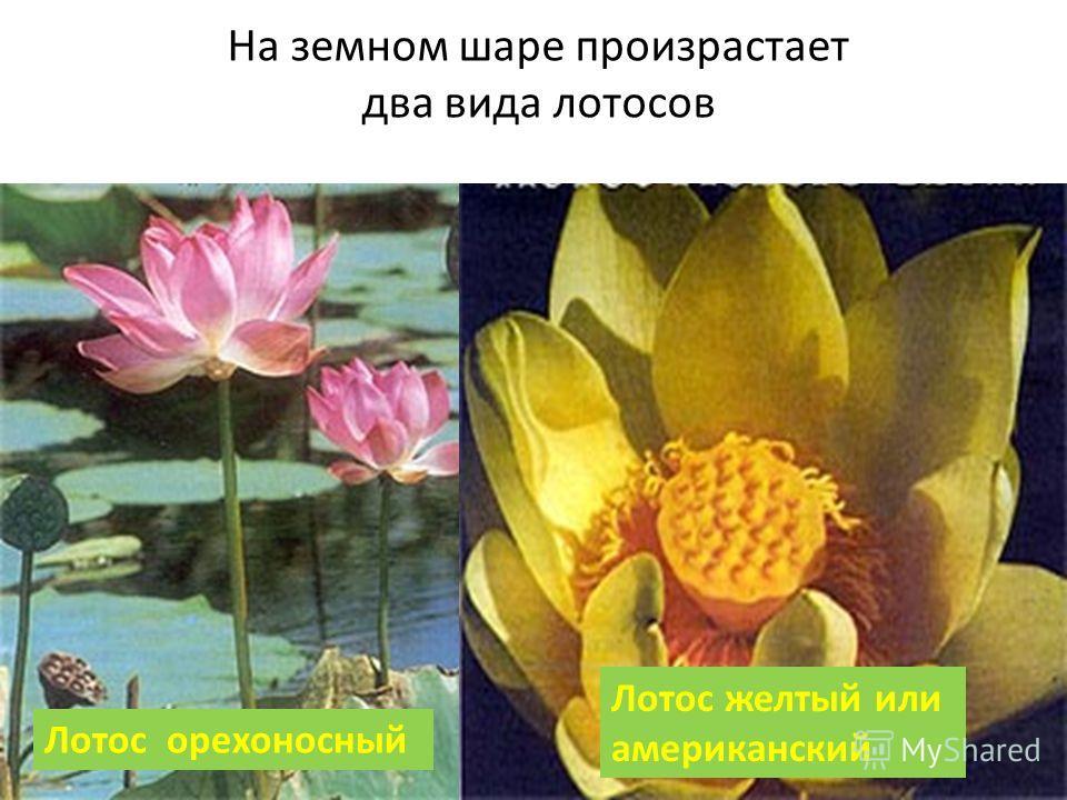 На земном шаре произрастает два вида лотосов Лотос орехоносный Лотос желтый или американский