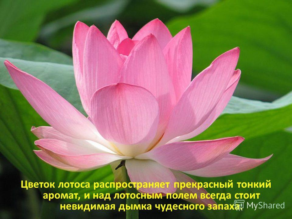 Цветок лотоса распространяет прекрасный тонкий аромат, и над лотосным полем всегда стоит невидимая дымка чудесного запаха.