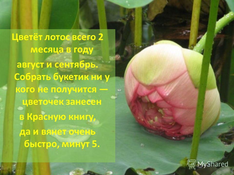 Цветёт лотос всего 2 месяца в году август и сентябрь. Собрать букетик ни у кого не получится цветочек занесен в Красную книгу, да и вянет очень быстро, минут 5.