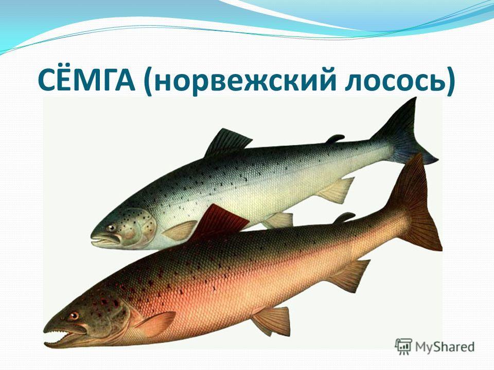СЁМГА (норвежский лосось)