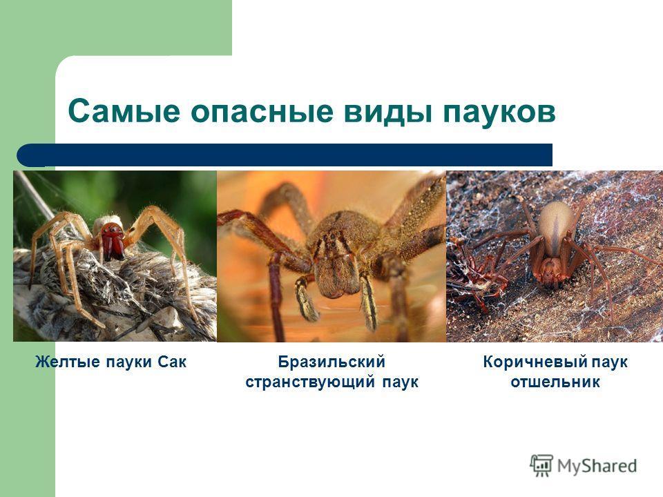 Самые опасные виды пауков Желтые пауки Сак Бразильский странствующий паук Коричневый паук отшельник