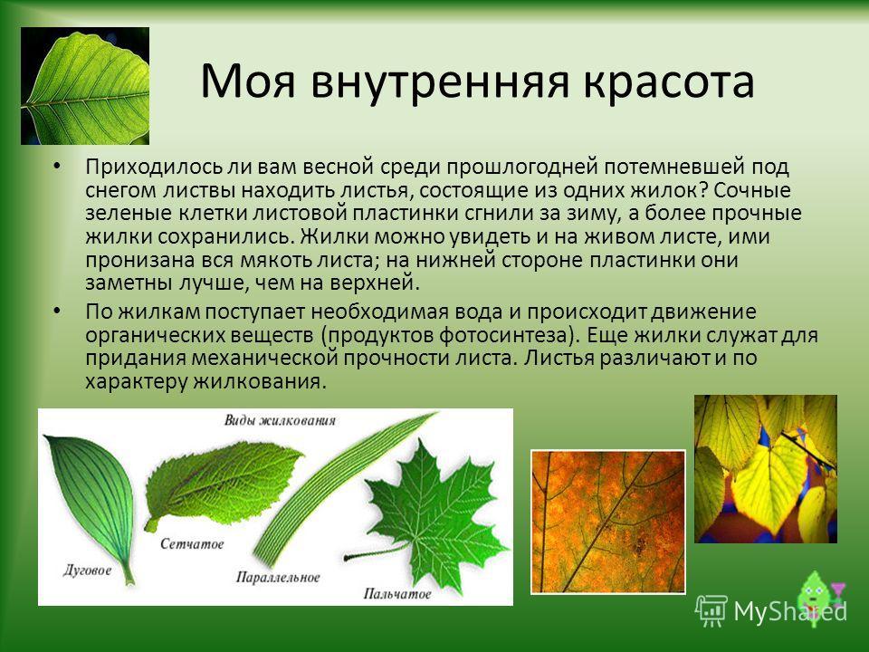 Моя внутренняя красота Приходилось ли вам весной среди прошлогодней потемневшей под снегом листвы находить листья, состоящие из одних жилок? Сочные зеленые клетки листовой пластинки сгнили за зиму, а более прочные жилки сохранились. Жилки можно увиде
