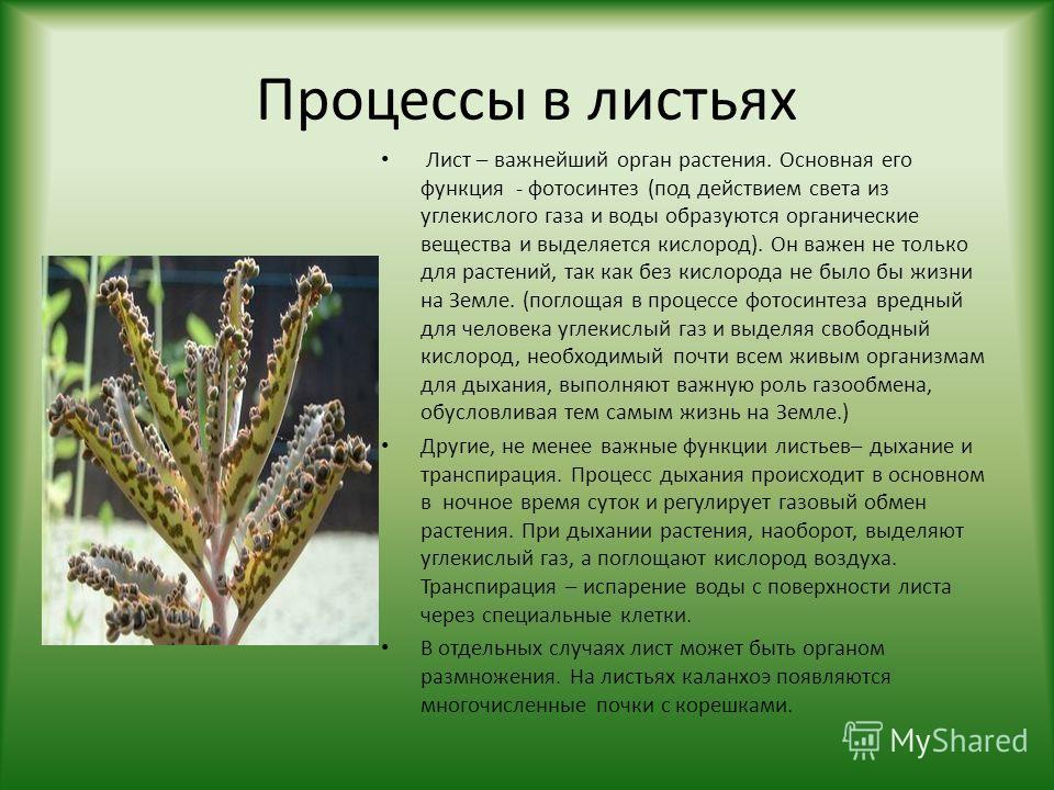 Процессы в листьях Лист – важнейший орган растения. Основная его функция - фотосинтез (под действием света из углекислого газа и воды образуются органические вещества и выделяется кислород). Он важен не только для растений, так как без кислорода не б
