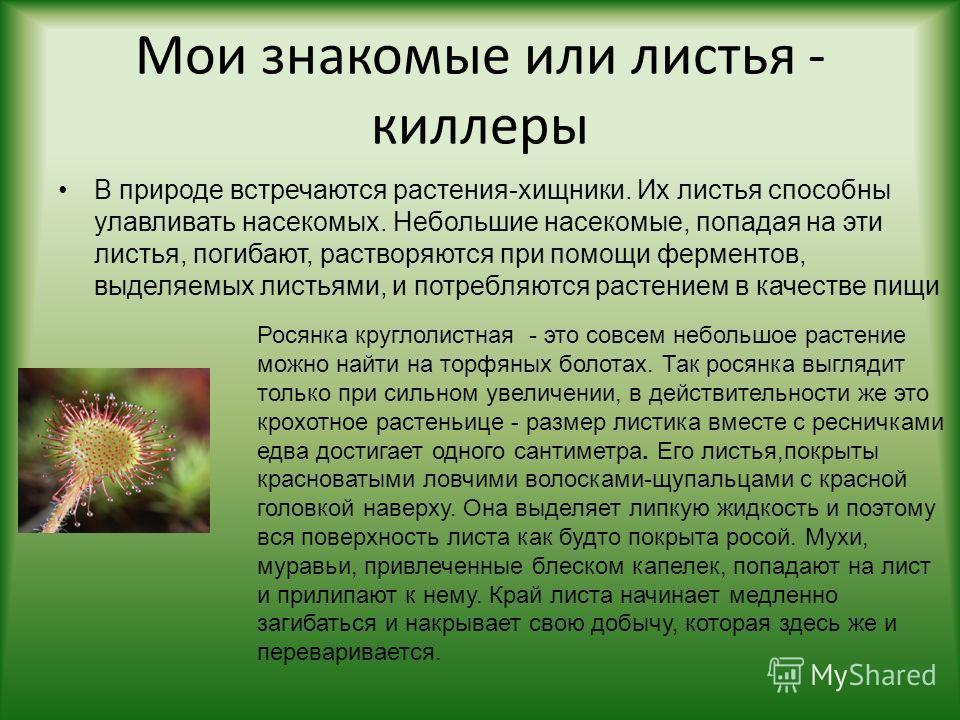 Мои знакомые или листья - киллеры В природе встречаются растения-хищники. Их листья способны улавливать насекомых. Небольшие насекомые, попадая на эти листья, погибают, растворяются при помощи ферментов, выделяемых листьями, и потребляются растением