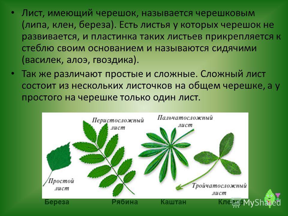 Береза РябинаКаштанКлевер Лист, имеющий черешок, называется черешковым (липа, клен, береза). Есть листья у которых черешок не развивается, и пластинка таких листьев прикрепляется к стеблю своим основанием и называются сидячими (василек, алоэ, гвоздик